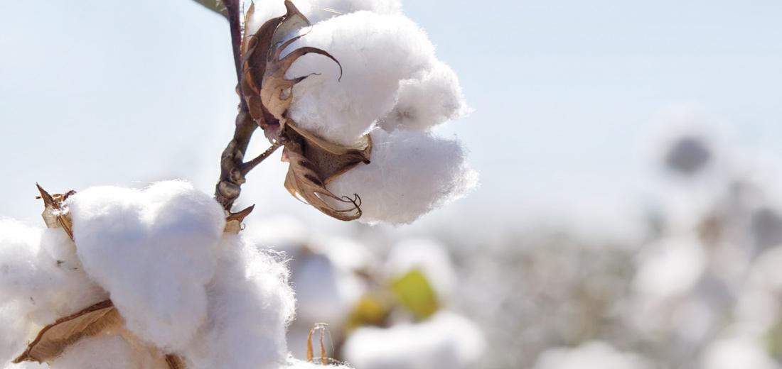 CSF:Το νέο πρόγραμμα που εξασφαλίζει στους βαμβακοπαραγωγούς το μεγαλύτερο δυνατό κέρδος!